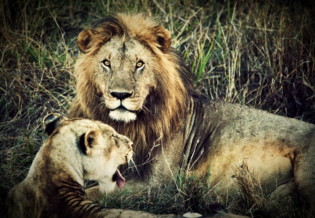 to løver
